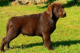 labrador retriever puppies breed information u0026 puppies sale