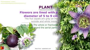 native plants passionflower vine grows passiflora or passion flower health benefits of the plant