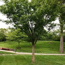 Green Vase Japanese Zelkova Zelkova Serrata U0027village Green U0027 Estabrook U0027s