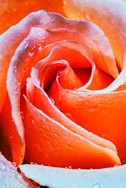 Colored Roses Closeup Image Of Beautiful Peach Colored Rose With Dew Drops
