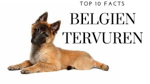 belgian shepherd health problems belgian tervuren top 10 interesting facts youtube