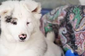 australian shepherd 7 mesi sos adozione del cuore per alaska 2 mesi meravigliosa
