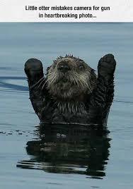 Sea Otter Meme - you otter surrender meme xyz