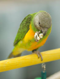 which treat to use for teaching tricks to parrots and taming parakeets