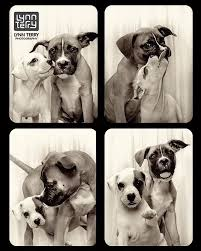 boxer dog 2016 calendar photo booth for dogs reveals the playful and compassionate nature