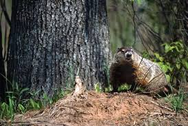 woodchuck hunting tips groundhogs outdoor