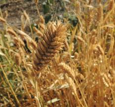 native arizona plants in padre kino u0027s veggie garden u2014 edible baja arizona magazine