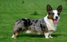 australian shepherd vs blue heeler australian cattle dog breed information