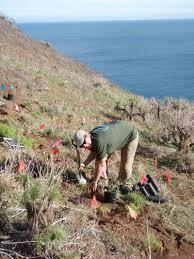 santa cruz native plants santa barbara island u2014 growing solutions