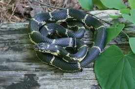 11alive com venomous or not they u0027re out now so know your snakes