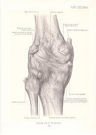 Anterior Fibular Ligament 1899 Human Anatomy Print Posterior View Of Knee Joint