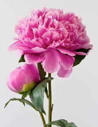 Peony Flowers Read More Malrden Blogspot Com Gardening Pinterest Peony