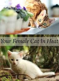 your female cat in heat a complete guide from the happy cat site