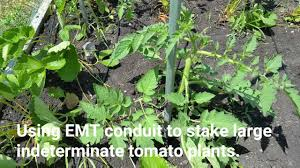using emt conduit to stake large indeterminate tomato plants youtube