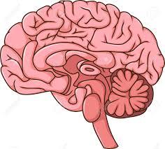 Cartoon Human Anatomy Human Brain Cartoon Royalty Free Cliparts Vectors And Stock