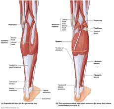 Anatomy Of The Calcaneus Calf Muscle Tightness Achilles Tendon Length And Lower Leg Injury