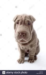 shar pei puppies stock photos u0026 shar pei puppies stock images alamy