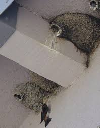 cliff swallows the or it could cost you pest
