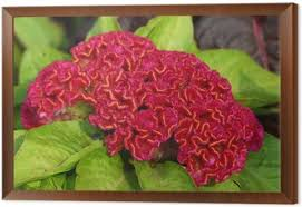 coxcomb flower amaranthus coxcomb flower wall mural pixers we live to change