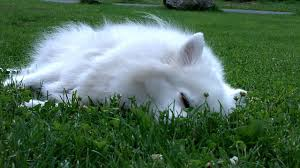 american eskimo dog small how much do dogs sleep youtube