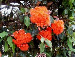 australian native climbing plants eucalyptus ficifolia western australian flowering gum mallee