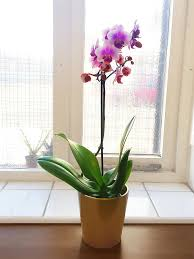 moth orchid 1 windowsil office house table plant lilac flower bloom