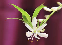 Spider Plant Spider Plant Flowering U2013 Learn About Flowers On Spider Plants