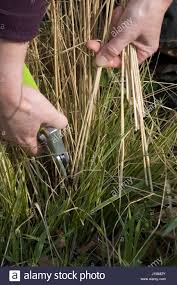 removing last years flower stalks from ornamental grass stock