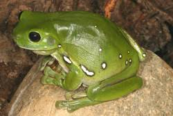 frogs of australia litoria caerulea green tree frog