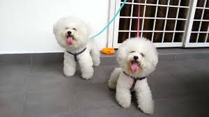 2 month old bichon frise dogs bichon frise barking at angry birds 2 youtube