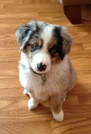 australian shepherd indiana best 25 miniature australian shepherd puppies ideas on pinterest