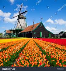 Tulip Field Dutch Windmill Over Orange Tulips Field Stock Photo 376814713