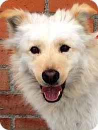 american eskimo dog lab mix lucy golden retriever american eskimo chow dogs we like