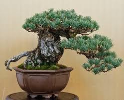 2013 golden state bonsai convention u2013 valavanis bonsai blog