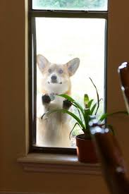 90 best dog in the window images on pinterest windows animals