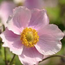 anemones flowers anemone seeds perennial flowers swallowtail garden seeds