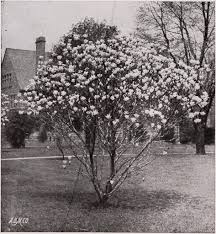 tree or shrub archives page image from page 39 of