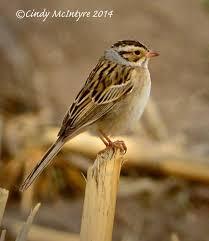 nebraska birds cindy mcintyre u0027s blog