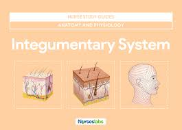 integumentary system anatomy and physiology u2022 nurseslabs