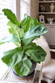 Fiddle Leaf Fig Tree Care by Tiffanyd Caring For House Plants A Fiddle Leaf Fig Story And