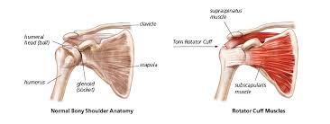 Anatomy Of Rotator Cuff Understanding Shoulder Pain Lift My Arm