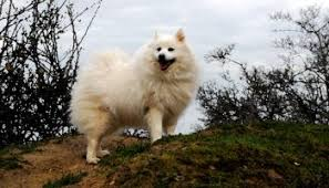 american eskimo dog or japanese spitz is the american eskimo dog and the samoyed dog similar