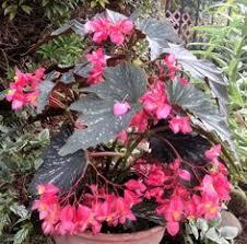 dragon wing pink begonia plants container gardening gardens