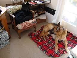 belgian sheepdog alberta 50 best belgian shepherd groenendael images on pinterest