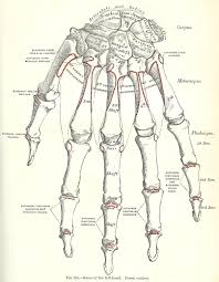 halloween skeleton images halloween skeleton images 1893 gray u0027s anatomy illustrations