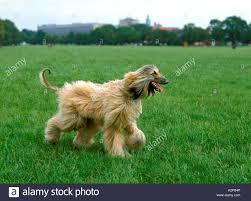 afghan hound dog images afghan hound dog walking stock photo royalty free image 10572070