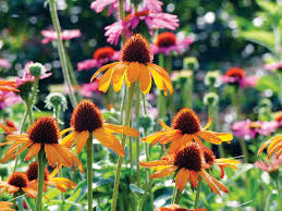 echinacea flower echinacea varieties varieties with flower colors