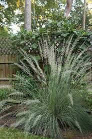 352 best ornamental grasses images on ornamental