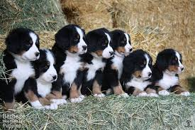 american eskimo dog for sale in colorado puppies for sale purebred berners from the mountains sweetwater