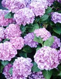 purple hydrangea how to change blue hydrangeas to purple home guides sf gate